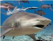 clase de tiburon capaz de internarse en los estuarios es el toro